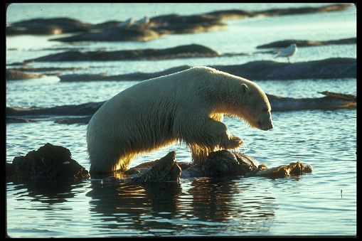 Arctic National Wildlife Refuge「Polar Bear Feeds on Whale Carcass」:スマホ壁紙(0)