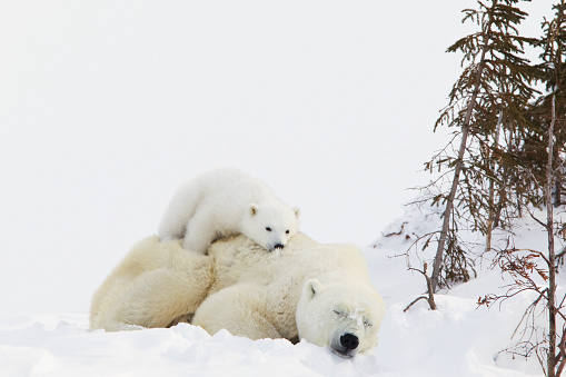 Polar Bear「Polar bear (ursus maritimus) cub rests on her mothers back at wapusk national park」:スマホ壁紙(15)