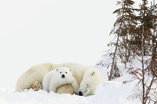 Polar Bear (Ursus Maritimus) Cub Rests On Her Mother's Legs At Wapusk National Park:スマホ壁紙(壁紙.com)