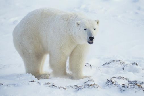 Polar Bear「Polar bear (Ursus maritimus), Canada」:スマホ壁紙(15)
