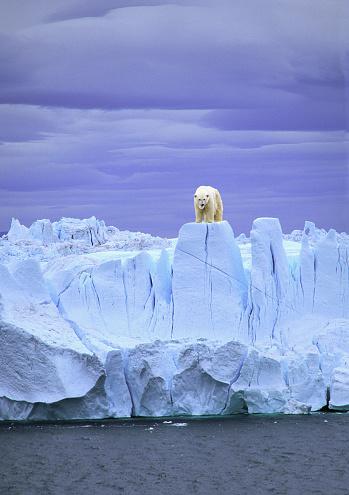 Polar Bear「Polar Bear on Ice」:スマホ壁紙(16)