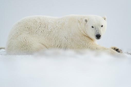 Polar Bear「Polar bear (Ursus maritimus) laying in the snow」:スマホ壁紙(4)