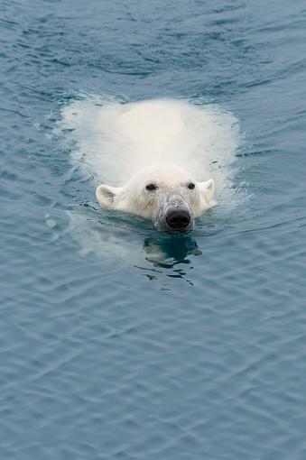 Pack Ice「Polar Bear」:スマホ壁紙(1)