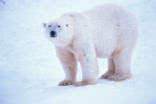 Polar Bear「Polar bear」:スマホ壁紙(0)