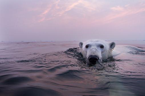 Polar Bear「Polar Bear Swimming in Hudson Bay, Canada」:スマホ壁紙(14)