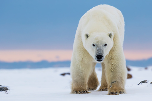 Polar Bear「Polar bear (ursus maritimus) along the Hudson Bay coastline waiting for the bay to freeze over」:スマホ壁紙(11)