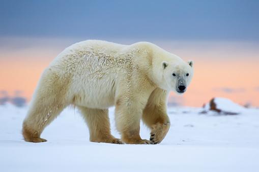 Polar Bear「Polar bear (ursus maritimus) along the Hudson Bay coastline waiting for the bay to freeze over」:スマホ壁紙(1)