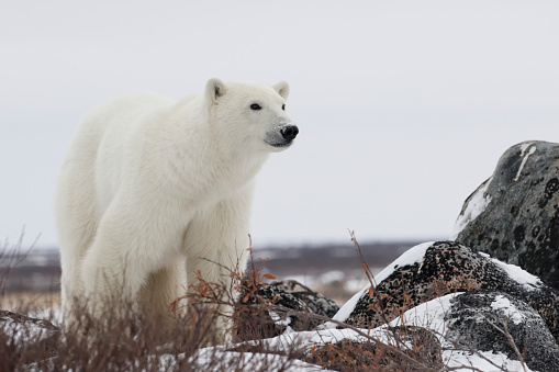 一匹「Polar bear (ursus maritimus) along the Hudson Bay coastline waiting for the bay to freeze over」:スマホ壁紙(4)