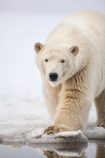 Polar Bear「Polar bear portrait.」:スマホ壁紙(17)