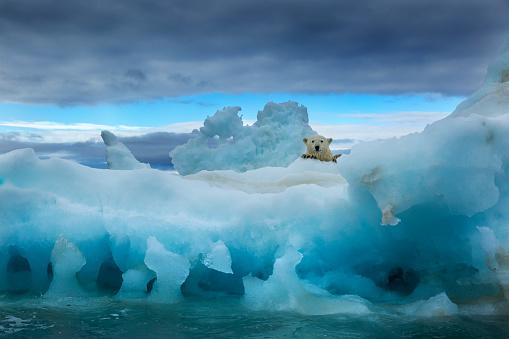 Nunavut「Polar Bear, Repulse Bay, Nunavut, Canada」:スマホ壁紙(4)