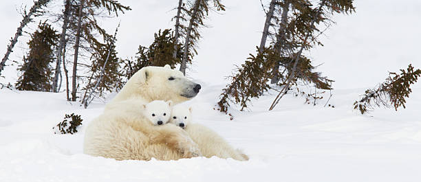 Polar Bear (Ursus Maritimus) Sow And Two Cubs Rest On Their Mother's Back Outside Their Den At Wapusk National Park:スマホ壁紙(壁紙.com)