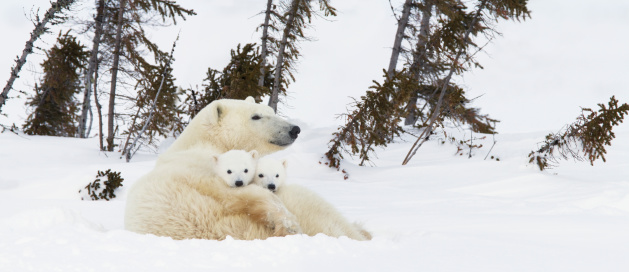 Bear Cub「Polar Bear (Ursus Maritimus) Sow And Two Cubs Rest On Their Mother's Back Outside Their Den At Wapusk National Park」:スマホ壁紙(1)