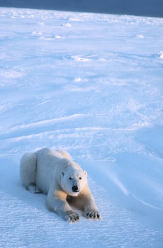 Polar Bear「Polar bear, Cape Churchill, Alberta, Canada」:スマホ壁紙(11)