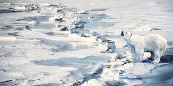 Polar Bear「Polar bear howling on melting ice cap」:スマホ壁紙(11)