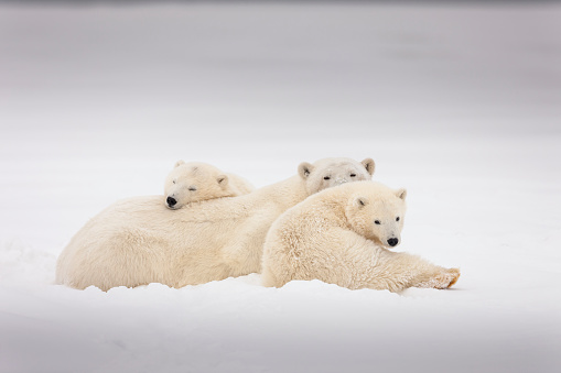 Arctic National Wildlife Refuge「Polar bear family relaxes in the snow」:スマホ壁紙(14)