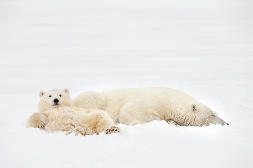 Arctic National Wildlife Refuge「Polar bear family relaxes in the snow」:スマホ壁紙(19)