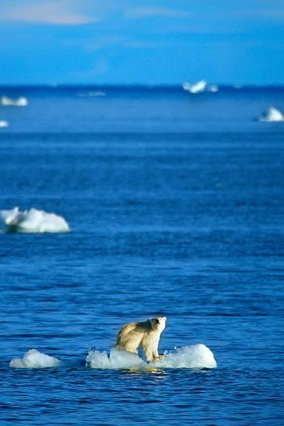 Polar Bear on Iceberg:スマホ壁紙(壁紙.com)