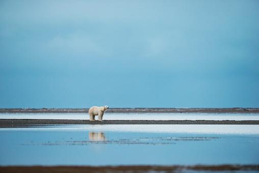 Kaktovik「Polar bear (ursus maritimus) standing at the water's edge with reflection in the water; Kaktovik, Alaska, United States of America」:スマホ壁紙(10)