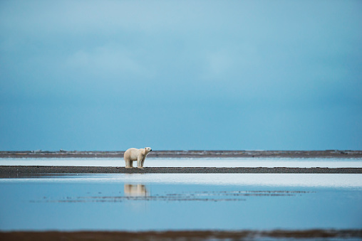 Kaktovik「Polar bear (ursus maritimus) standing at the waters edge with reflection in the water」:スマホ壁紙(14)