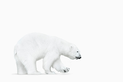 Polar Bear「Polar bear walking on white background」:スマホ壁紙(17)