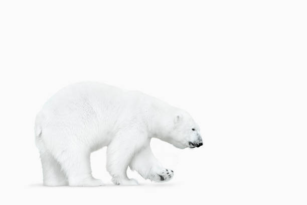Polar bear walking on white background:スマホ壁紙(壁紙.com)