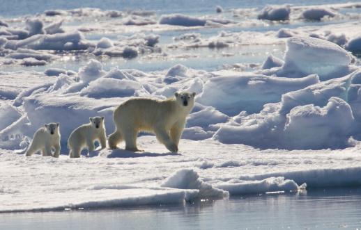 Polar Bear「Polar bear sow and two young cubs (Ursus maritimus)」:スマホ壁紙(6)