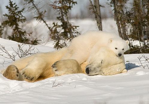 Bear Cub「Polar Bear with cub in snow」:スマホ壁紙(0)