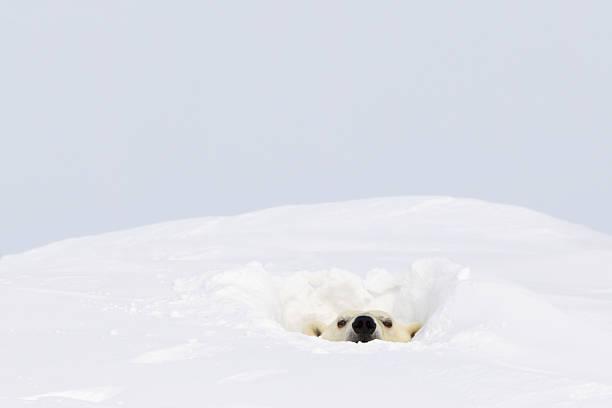 Polar Bear (Ursus Maritimus) Sticking It's Head Out Of A Den At Wapusk National Park:スマホ壁紙(壁紙.com)