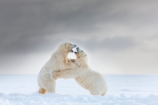 Arctic National Wildlife Refuge「Polar bear cubs play in the snow」:スマホ壁紙(17)