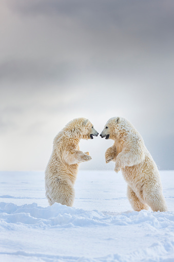 Arctic National Wildlife Refuge「Polar bear cubs play in the snow」:スマホ壁紙(15)