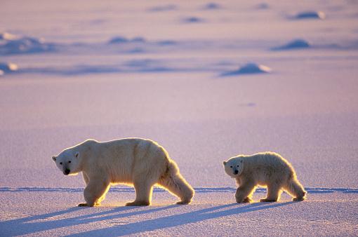 Polar Bear「Polar Bear Cub Following Mother」:スマホ壁紙(7)