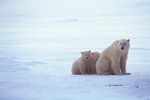 Bear Cub「Polar bear and cubs」:スマホ壁紙(8)