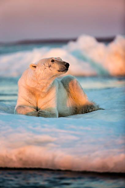 Polar Bear Resting on Sea Ice, Nunavut, Canada:スマホ壁紙(壁紙.com)