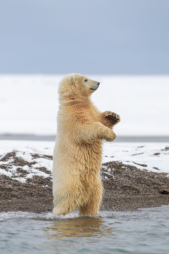 Arctic National Wildlife Refuge「Polar bear cub standing」:スマホ壁紙(10)