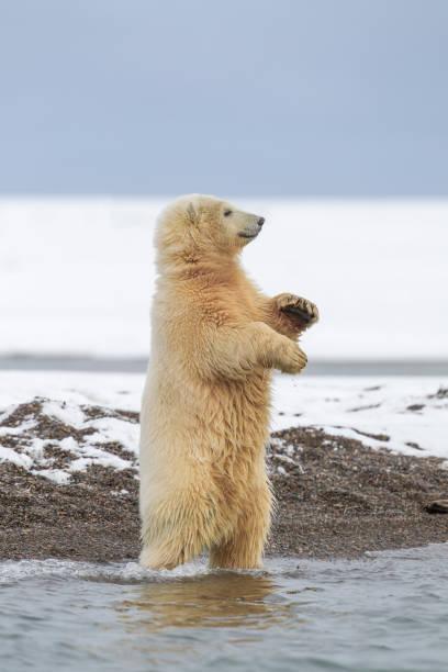 Polar bear cub standing:スマホ壁紙(壁紙.com)