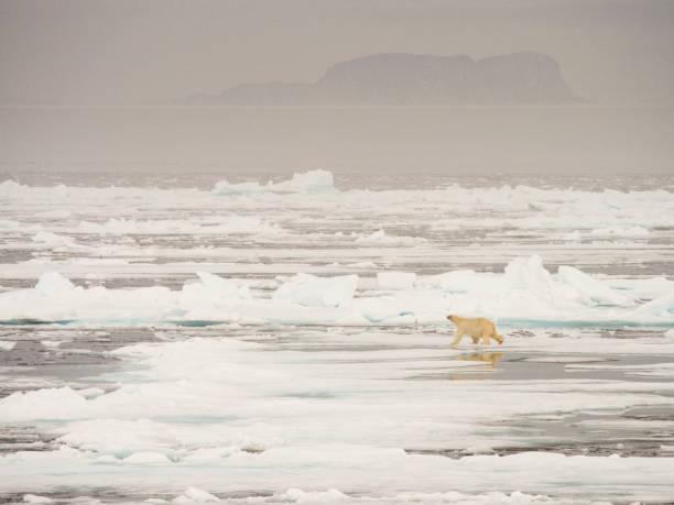 A Polar Bear hunting seals on rotten sea ice off the north coast of Spitsbergen, Svalbard:スマホ壁紙(壁紙.com)