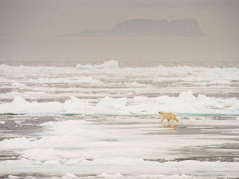 Polar Bear「A Polar Bear hunting seals on rotten sea ice off the north coast of Spitsbergen, Svalbard」:スマホ壁紙(16)
