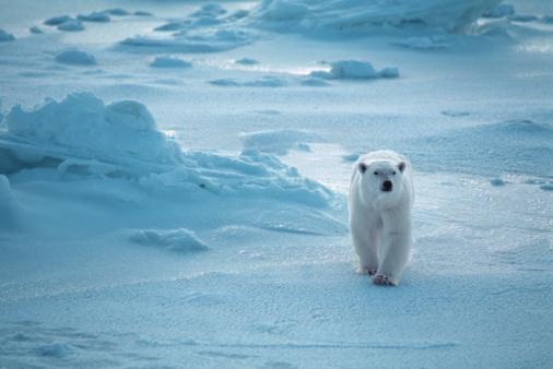 Churchill - Manitoba「Polar Bear」:スマホ壁紙(9)