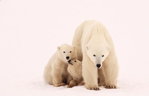 Polar Bear「Polar Bear Sibling Affection」:スマホ壁紙(8)