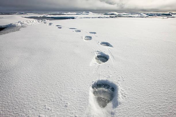 Polar Bear Tracks in Fresh Snow at Spitsbergen Island:スマホ壁紙(壁紙.com)
