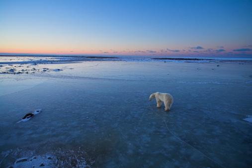 Polar Bear「Polar bear (Ursus maritimus) walking on ice, elevated view」:スマホ壁紙(3)
