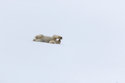 Polar Bear「Polar bear (Ursus maritimus) lying in snow, Spitsbergen, Svalbard and Jan Mayen, Norway」:スマホ壁紙(6)