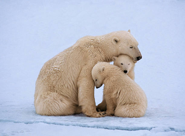 Polar bear with twin cubs (Ursus maritimus):スマホ壁紙(壁紙.com)