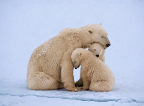 Polar Bear「Polar bear with twin cubs (Ursus maritimus)」:スマホ壁紙(1)
