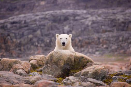Baffin Island「Polar bear by rocks」:スマホ壁紙(11)