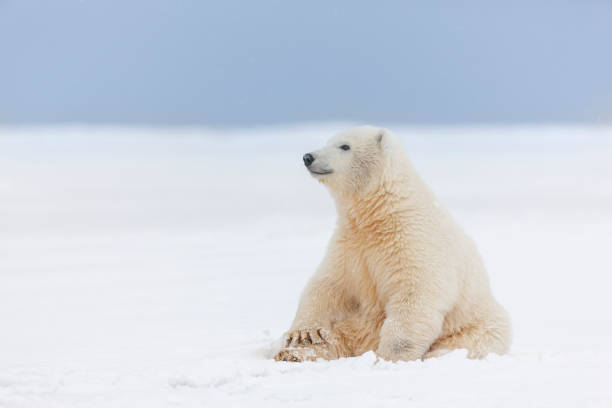 Polar bear cub in the snow:スマホ壁紙(壁紙.com)