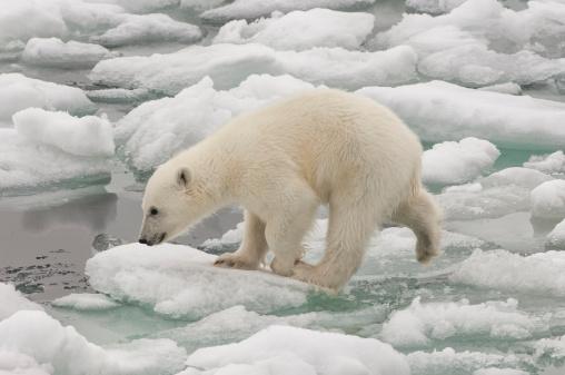 流氷「Polar bear cub (Ursus maritimus)」:スマホ壁紙(13)