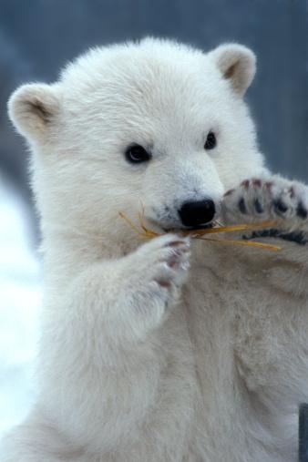 Bear Cub「Polar Bear cub」:スマホ壁紙(4)