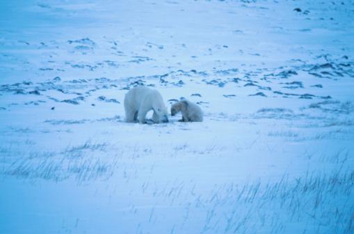 Polar Bear「Polar bear and cub」:スマホ壁紙(16)