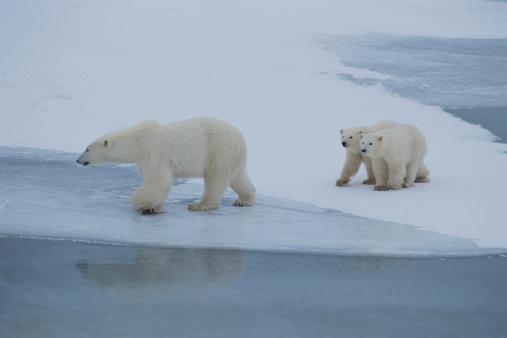 Polar Bear「Polar bear (Ursus maritimus) mother and cubs crossing ice, Canada」:スマホ壁紙(7)